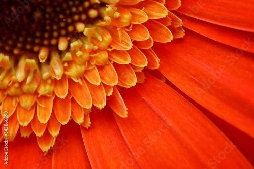 Photo Extreme closeup of Gerbera, Transvaal Daisy, Barberton Daisy or Barbertonse madeliefie flower