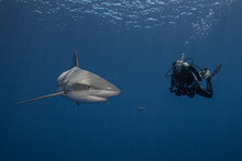 A Diver And A Grey Reef Shark ...