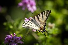 Scarce Swallowtail Butterfly On Pink Flower
