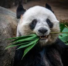 Close Up Of Giant Panda Eating...