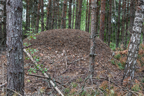 Photo Big anthill in a green forest