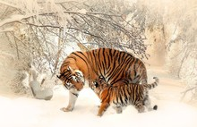 Tigers On Snow Covered Landscape