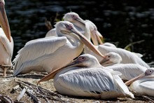 Pelicans Resting On Riverbank At Zoo