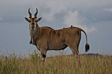 View Of Eland Standing In Field