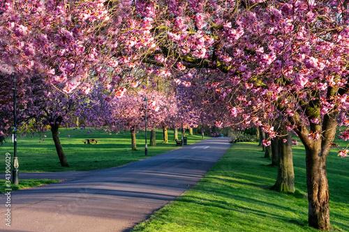 Obraz na plátně cherry blossom trees in pittencrieff park, dunfermline, fife, scotland