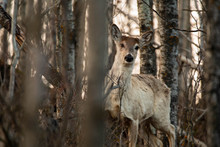 Whitetail Deer Sneaking Through The Forrest