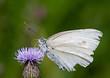 motyl pijący nektar zbliżenie
