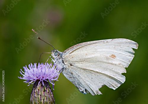 Obraz motyl pijący nektar zbliżenie - fototapety do salonu