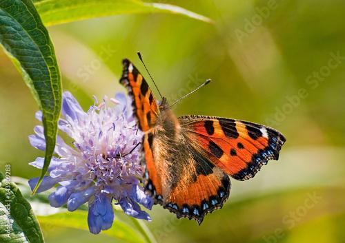 Obraz motyl na kwiecie ostu zbliżenie - fototapety do salonu