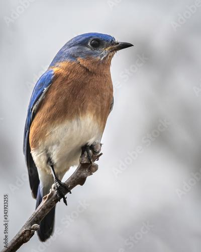 Male Eastern Bluebird Perching and Enjoying the Springtime Sunshine Fototapet