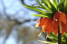 Orange Bell Lily In The Garden...