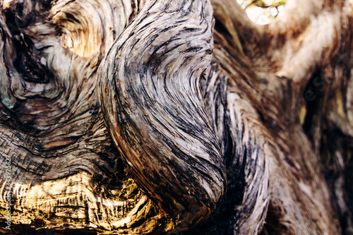 The swirling texture of the deformed trunk of a large old juniper tree Canvas-taulu