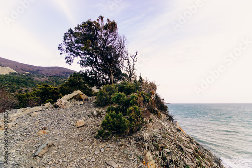 Fototapeta A juniper tree with a lush coniferous tree deformed by gusts of wind grows on a rocky rocky cliff in the Utrish Nature Reserve in Russia
