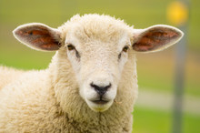 Dike Sheep Close Up Portrait 2