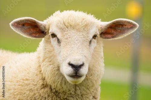 Fotografie, Obraz Dike sheep close up portrait 2