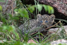 A Newly Born Leopard Cub, Panthera Pardus, Lies Between The Rocks, Blue Eyes