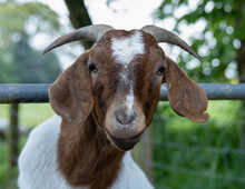 Boer Goat Close Up.