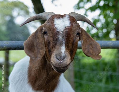 Wallpaper Mural Boer goat close up.