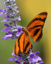 A Banded Orange Heliconian Butterfly