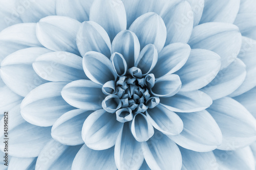 Fotomural Defocused pastel, pale blue dahlia petals macro, floral abstract background