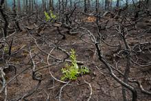Plants Grow Among Burned Trees, Kenai Peninsula, Alaska