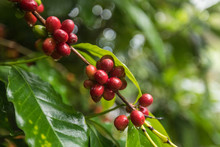 Close-up Of Coffee Beans Growing On Bush