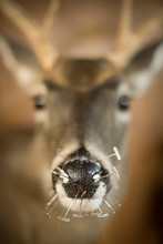 Pins In The Nose Of Deer Bust ...