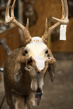 Fur Hangs Off The Bust Of A Deer At A Taxidermy Shop.