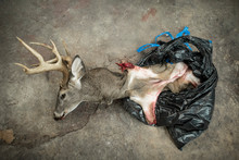 The Bust Of A Dead Deer Coming Out Of A Plastic Bag.