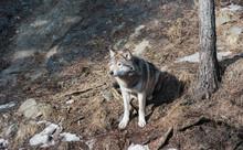 Wild Wolf Sat On A Rock