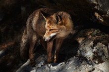 Wild Fox Standing On Rock In Sierra De Cazorla