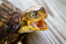 Close Up Of A Box Turtle With It's Mouth Open