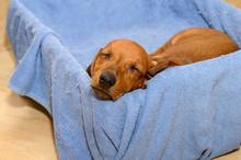 A Young Dachshund Puppy Of Bri...