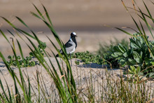 Blacksmith Lapwing Or Blacksmith Plover Photographed In South Africa. Picture Made In 2019.