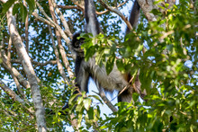 Geoffroy S Spider Monkey Photographed In South Africa. Picture Made In 2019.