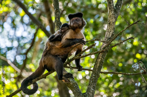 Tufted capuchin photographed in South Africa Billede på lærred