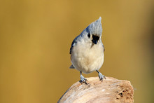 Close-up Of Tufted Titmouse On Rock