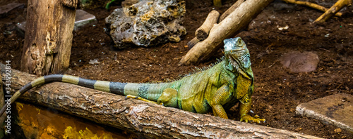 portrait of a green american iguana looking in the camera, popular tropical rept Canvas Print
