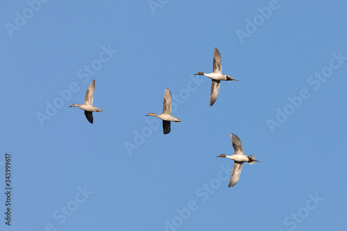 Photo Northern Pintail Duck Flock in Alaska