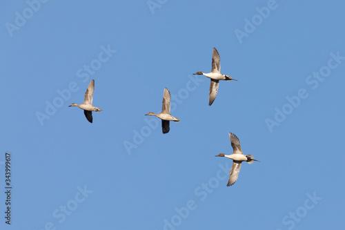 Northern Pintail Duck Flock in Alaska Canvas Print