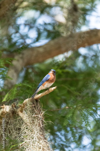 Male eastern bluebird Sialia sialis perches on a branch high in a tree Tablou Canvas