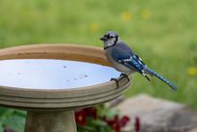 Blue Jay On A Bird Bath