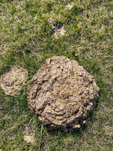 Cow Pie Manure Pile In Grass P...