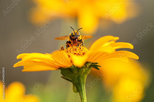 Foto .Bee and flower. Close up of a large striped bee collecting pollen on a yellow f