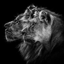 Close-up Of Lions Against Black Background