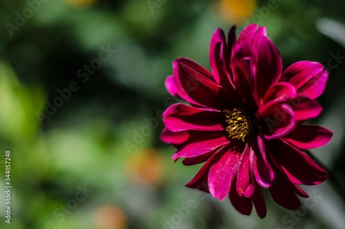 Closeup shot of a beautiful purple-petaled black-eyed susan flower on a blurred Fototapet
