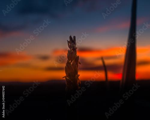 Fényképezés sunset through cornstalk