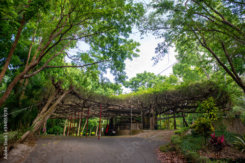 Photo There are stone tables and houses under the huge banyan tree, which can also acc