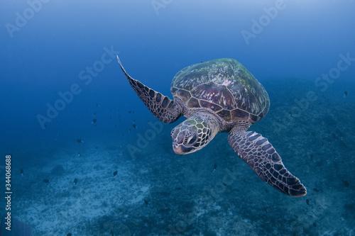 屋久島はウミガメの島。 国内でも屈指のウミガメの多い島です。 写真は通年、最も多く見られるアオウミガメ Wallpaper Mural