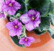 Blooming violet flower also known as Saintpaulia or African violet